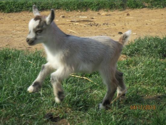 Clark's Elioak Farm : Our cute baby goat