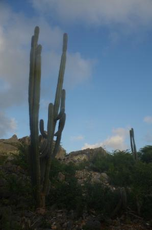 Mount Christoffel : cactus