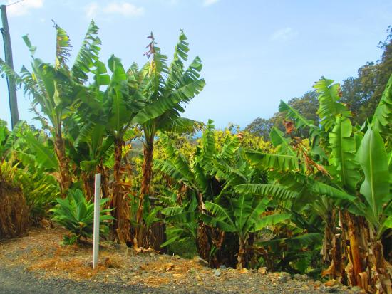 Coffs Harbour, Australia: Banana Plantations on the Way