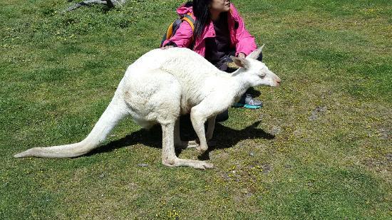 Maru Koala and Animal Park: Kangguru albino