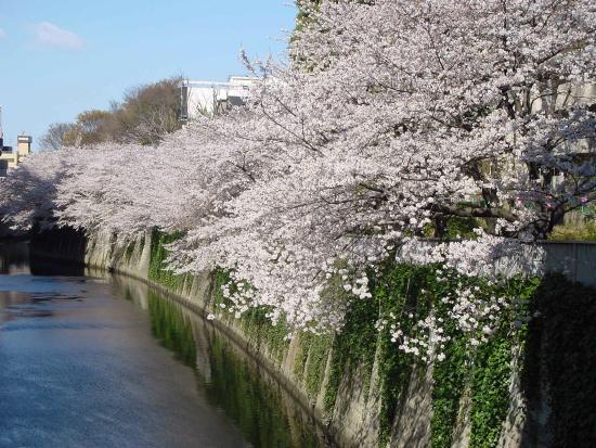 ホテル椿山荘東京 庭園, 江戸川橋から椿山荘・冠木門方向の遊歩道にかかる桜です