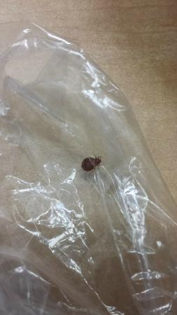 Murfreesboro, TN: One of the BED BUGS that were found in a bed in our room