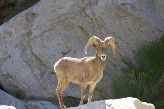 Borrego Valley Inn: Mountain Sheep on hike to the oasis in Palm Canyon
