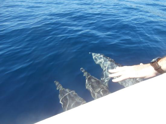 Roatan Eco Tour. Snorkeling Tours: Dolphins playing at the bow of the boat