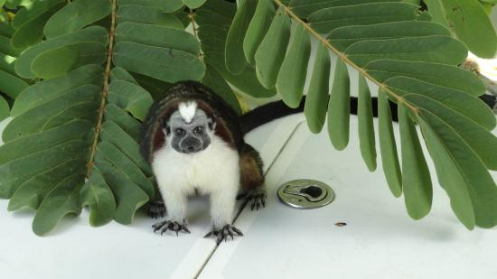 Monkey Island : Tamarin