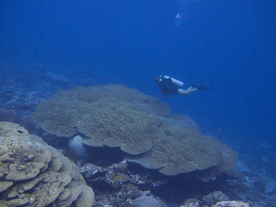 Kosrae Nautilus Resort: Huge hard coral