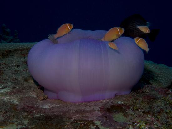 Kosrae Nautilus Resort: Anenome