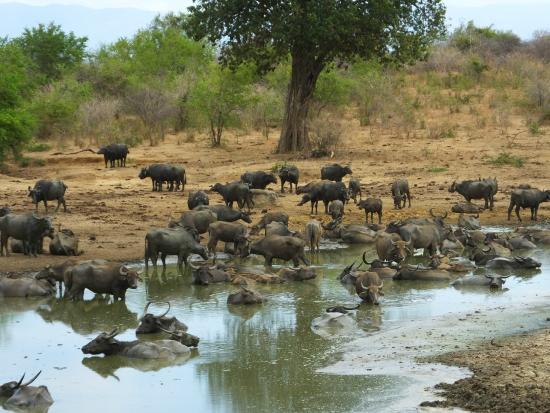 water buffalo picture of udawalawe national park uda. Black Bedroom Furniture Sets. Home Design Ideas