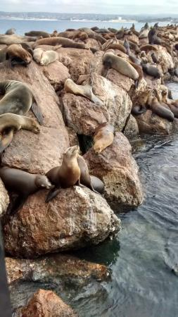 Monterey Bay National Marine Sanctuary : Leões Marinhos diversos.