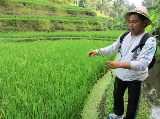 Dewa Bali Tour - Day Tours: This is the guide explaining about the wheat to us