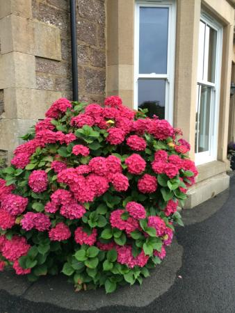 The hydrangea in front of Glengarry Guest House.