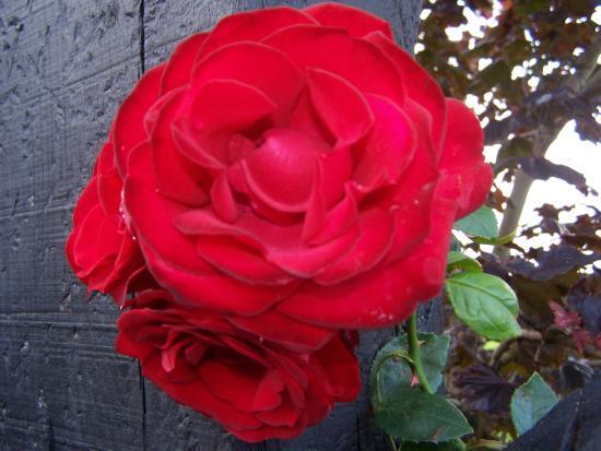 Liosderrig House: met by roses