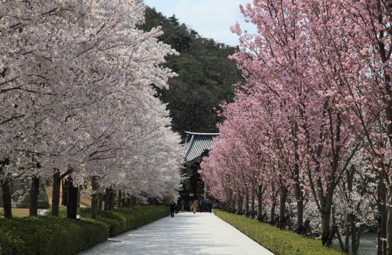 念仏宗無量寿寺 桜並木 参詣 兵庫県加東市