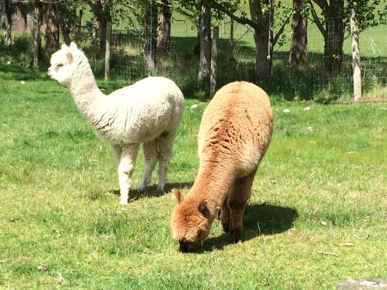 Blue Mountain Cottages/Lodge: Cute alpacas