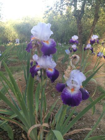 Giardino Dell'Iris: Iris