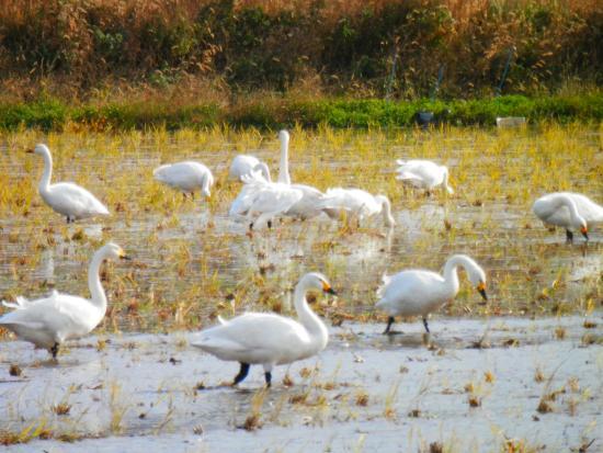 Izumo Orinoki Swan Farm Village: 白鳥は餌を食べるのに夢中です。