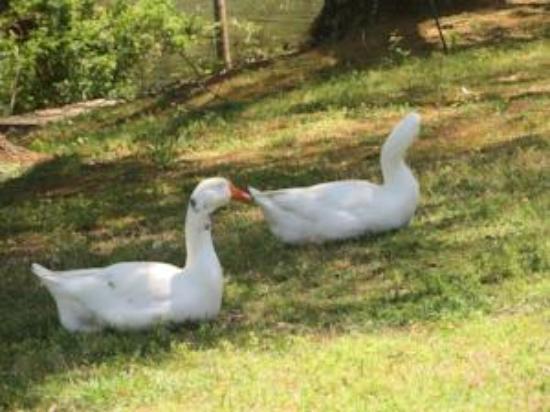 River Place Inn & Cabins: Our Ducks