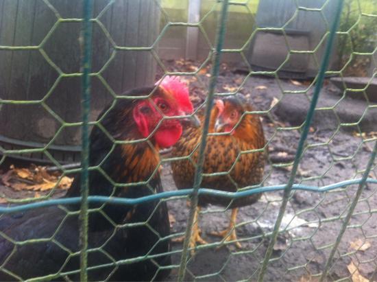 Agnes Delrue B&B: The chickens!