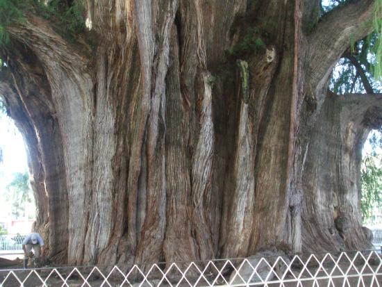 El Tule Tree of Life, Teotitlan Village, and Mitla Ruins Tour: tronc de l'arbre de tule