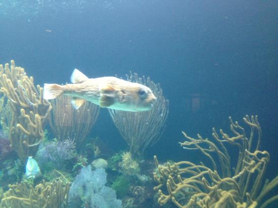 North Rock Exhibit Puffer Fish Picture Of Bermuda