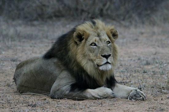 Garonga Safari Camp : One of the lions near garonga Camp