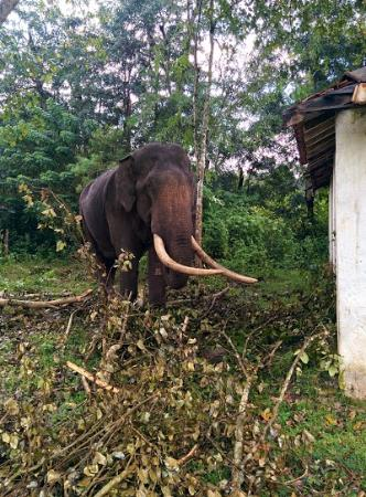 Kali Adventure camp : An elephant in captivity.After the last one killed its Mahaut, this one coming there was a big d