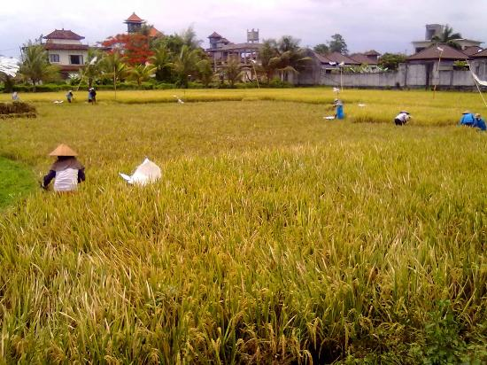 Bisma Sari Resort : Rice field on Jalan Bisma