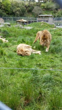 Paradise Valley Springs Wildlife Park: Lions
