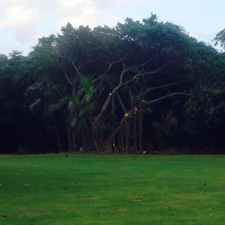 Puerto Aventuras Golf & Racquet Club: Gran tronco en el campo de Golf