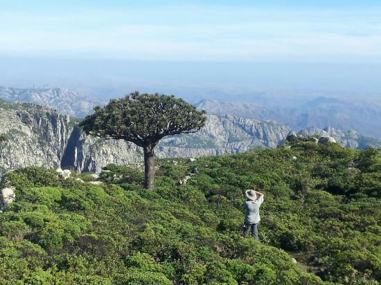 Hadiboh, Йемен: Beautiful Dragon's Blood Tree on the summit of Haggeher mountains
