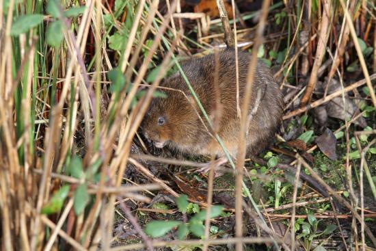 WWT Arundel Wetland Centre: Water vole