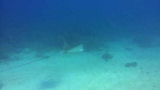 Marine Life Divers: Spotted Eagle Ray at the House Reef