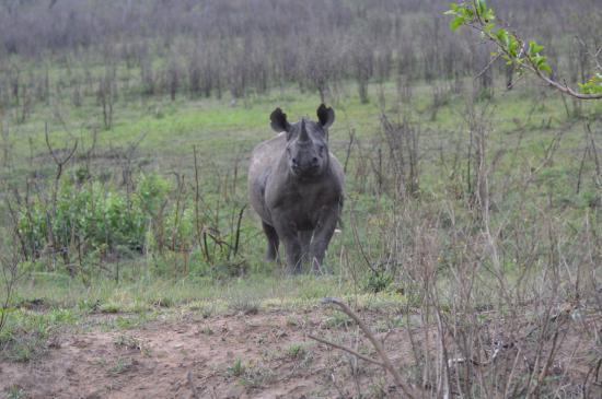 EuroZulu Guided Tours & Safaris : Zwarte Neushoorn