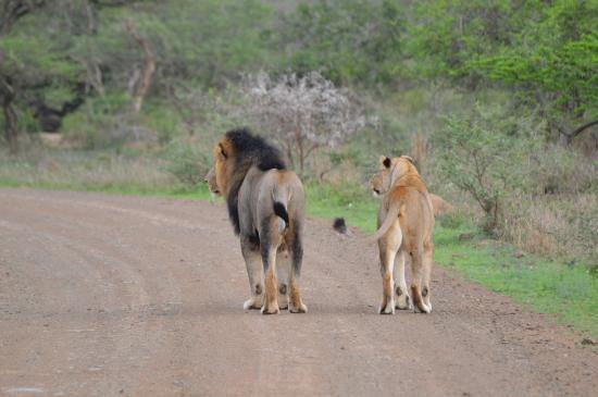 EuroZulu Guided Tours & Safaris : Parende Leeuwen