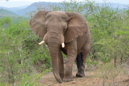 EuroZulu Guided Tours & Safaris : Olifant