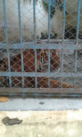Dhaka City, Bangladesh: Tiger near the cage