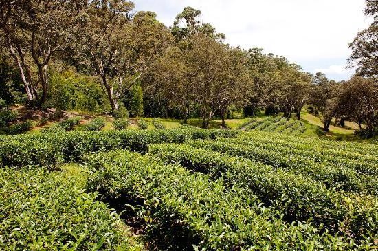 Honokaa, Гавайи: Tea farm