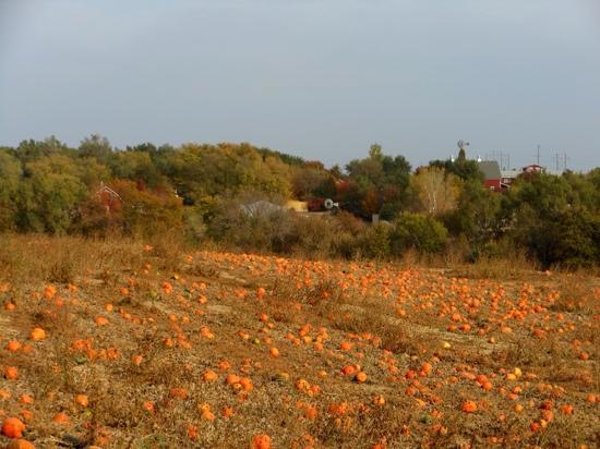 Vala's Pumpkin Patch: Pumpkin Field