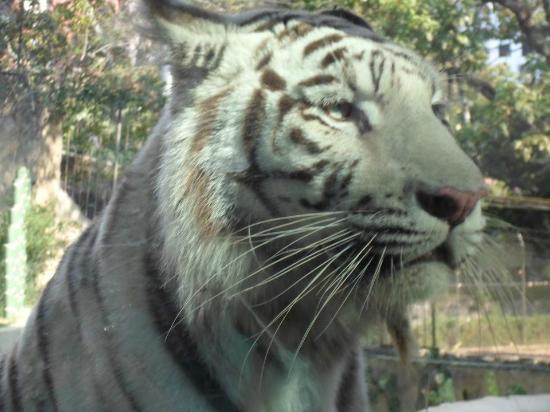 Zoologico de Cali: Tigre Blanco Zologico de Cali