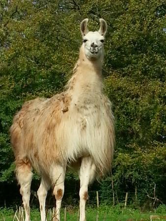 Stablegrove Bed & Breakfast : One of the Stablegrove Llamas