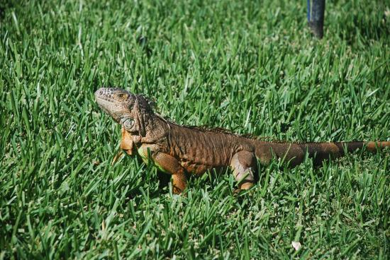 Mayan Palace Mazatlan : These iguana roam all over the property...  Fantastic and interesting to view