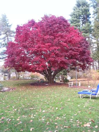 Inn on Putney Road Bed and Breakfast: Gorgeous Japanese Maple on Inn grounds