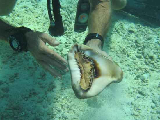 Dream Team Divers: Conch