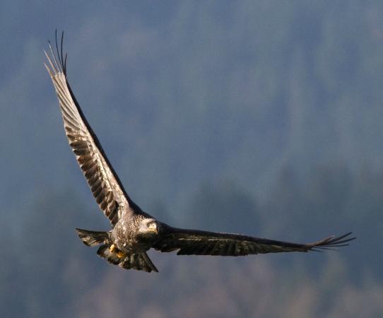 Prestige Sportfishing: Bald eagle