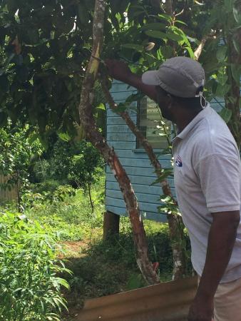 Grand Etang National Park, Grenada: Cinnamon Tree