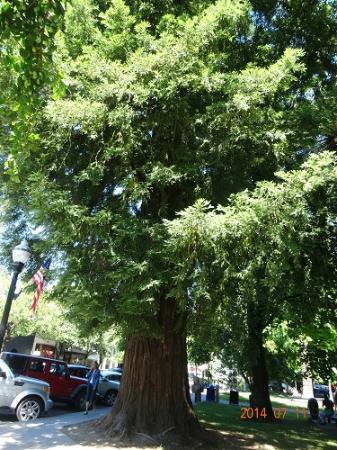 Healdsburg Plaza : 園内の木々