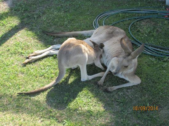 Fraser Coast Wildlife Sanctuary: Mum Kangaroo Having A Shady Rest While Her Joey Has A Feed