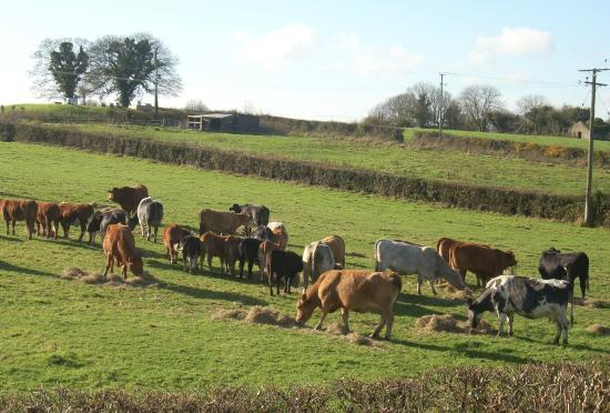 Middleton House Bed and Breakfast: Feeding time for the cows in November