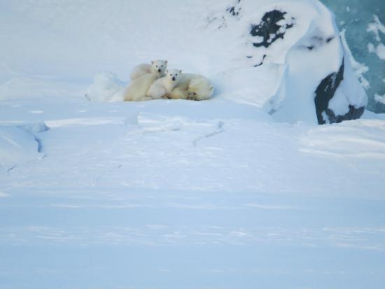 Spitzbergen Adventures: Polar Bear Mum with her Cubs may 2014 Eastcoast