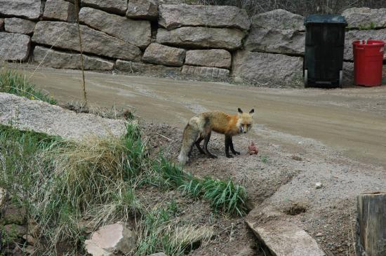 The Bucksnort Saloon: Fox
